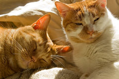 Zwei schläfrige orange Katzen der getigerten Katze Lizenzfreie Stockfotos