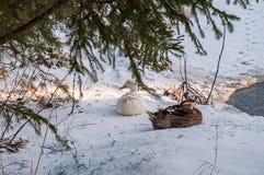 Zwei Schlafenenten unter einem Baum nahe einem kleinen Teich lizenzfreie stockfotos