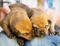 Zwei Schlafenwelpen auf einem Schoss Lizenzfreie Stockfotografie