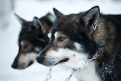Zwei Schlittenhunde stockfotografie