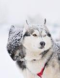 Zwei Schlittenhundhuskys Lizenzfreie Stockbilder