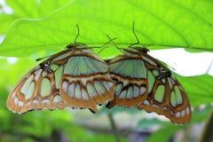 Zwei Schmetterlinge, die auf einem Blatt verbinden stockfoto