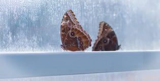 Zwei Schmetterlinge im Fenster Stockfotografie