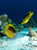 Zwei Schmetterlingsfische essen Quallen über dem Sand lizenzfreie stockbilder
