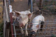 Zwei schmutzige junge rosa Schweine, 1 Stellung oben auf ihren Hinterbeinen, welche die Kamera betrachten Lizenzfreie Stockbilder