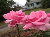 Zwei schöne rosafarbene Rosen Lizenzfreies Stockfoto