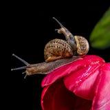Zwei Schnecken auf der roten Tulpe Lizenzfreie Stockfotografie