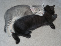 Zwei schnelle schlafende der Kätzchen (Felis catus) Lizenzfreies Stockbild