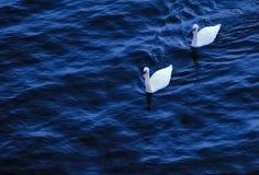 Zwei Schwäne auf dem Fluss Lizenzfreies Stockfoto