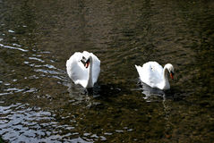 Zwei Schwäne auf einem Fluss lizenzfreie stockfotos