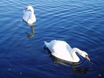 Zwei Schwäne auf See Stockfotos