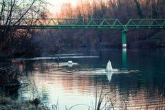 Zwei Schwäne, die in einem Fluss in Italien fischen Stockbild