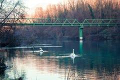 Zwei Schwäne, die in einem Fluss in Italien schwimmen Lizenzfreies Stockfoto