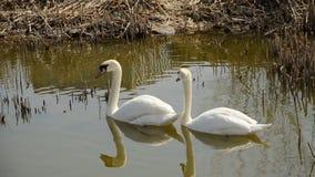 Zwei Schwäne, die in einem Teich schwimmen stock video