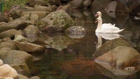 Zwei Schwäne, die in einem Teich Stein-gepflastert schwimmen stock video footage