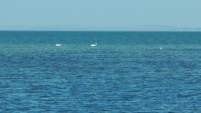Zwei Schwäne, die im Meer schwimmen stock video footage