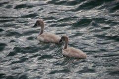 Zwei Schwanküken (swanlings, Cygnus olor) schwimmend unter den Wellen Stockbilder
