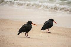 Zwei schwarze Austernfischer auf Strand Stockbild