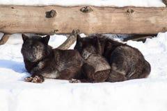 Zwei schwarze kanadische Wölfe aalen sich in der Sonne Stockbild