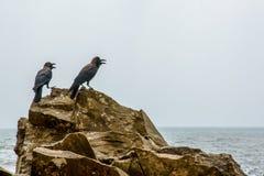Zwei schwarze Krähen, die auf den Felsen sitzen stockfoto