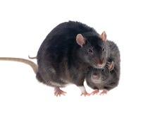 Zwei schwarze Ratten lizenzfreies stockbild
