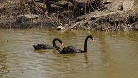 Zwei schwarze Schwäne, die in einem Teich schwimmen stock video