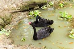 Zwei schwarze Schwäne, die im Teich smimming sind Lizenzfreie Stockfotografie