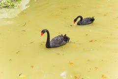 Zwei schwarze Schwäne, die im Teich smimming sind Stockfoto
