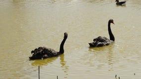 Zwei schwarze Schwäne, die zusammen im Teich schwimmen stock footage