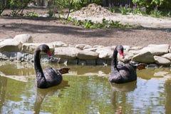 Zwei schwarze Schwäne schwimmen im Seebecken und werfen mit den Tatzen auf lizenzfreies stockfoto