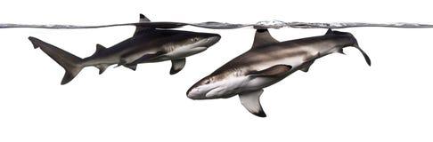 Zwei Schwarzspitzen-Riffhaie, die an der Oberfläche schwimmen lizenzfreie stockfotografie