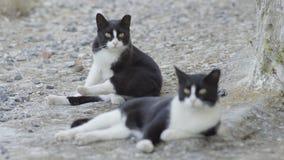 Zwei Schwarzweiss-Streukatzen in Griechenland stock video