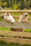 Zwei Schweine Stockbild