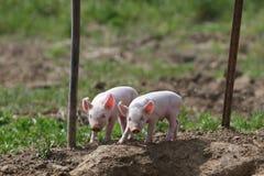 Zwei Schweine Stockfotos