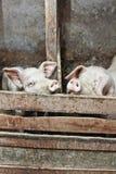 Zwei Schweine in einem Stall Stockbilder