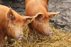 Zwei Schweine im Heu Lizenzfreies Stockbild