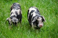Zwei Schweine mit schwarzen Punkten Stockfoto