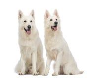 Zwei Schweizer Schäferhunde, 5 Jahre alt, oben sitzend, keuchen und schauen Lizenzfreies Stockbild