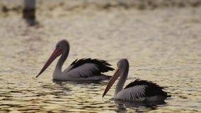 Zwei schwimmende Pelikane stock video