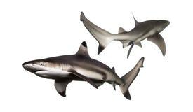 Zwei schwimmende Schwarzspitzen-Riffhaie stockbild