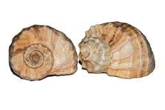 Zwei Seashells auf einem weißen Hintergrund stockbilder