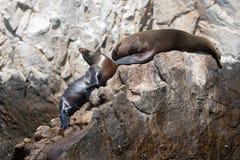 Zwei Seelöwen, die auf Berggipfel stillstehen, schaukeln an den Ländern beenden in Cabo San Lucas Baja Mexiko Stockbild