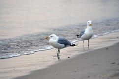 Zwei Seemöwen Lizenzfreie Stockbilder