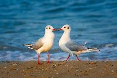 Zwei Seemöwen in der Liebe Lizenzfreie Stockfotografie