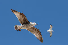 Zwei Seemöwen, die in den blauen Himmel fliegen. stockfotografie
