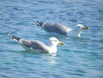 Zwei Seemöwen, die im ruhigen See schwimmen Stockfotos