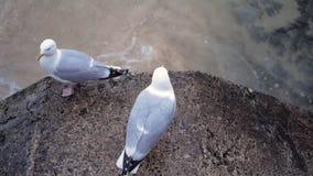 Zwei Seemöwen stehen auf einem konkreten Zaun an der Küste und schauen herum stock video footage