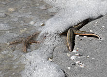 Zwei Seesterne (Starfish) Stockbild