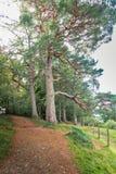Zwei sehr alte schottische Bäume und ein netter Fußweg und eine Bank Stockfoto