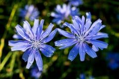 Zwei sehr schöne blaue Blumen, die im Sommer auf den Wiesen wachsen Nach einem regnerischen Tag Einladung, Hintergrund, ilustrati stockbilder